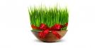 آموزش کاشت سبزه خاکشیر